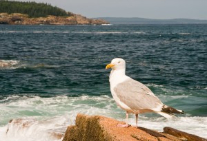 http://www.dreamstime.com/stock-photo-seagull-maine-coast-image5870000
