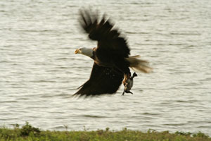 http://www.dreamstime.com/royalty-free-stock-photo-bald-eagle-hunting-image23662725