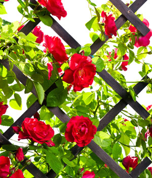 http://www.dreamstime.com/royalty-free-stock-photo-red-rose-bush-image25536625